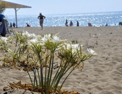 People picking endangered sea daffodils in Turkey's Mediterranean to be fined