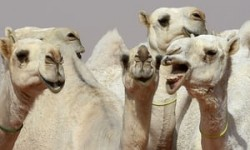 12 camels disqualified from Saudi beauty contest in 'Botox' row | World news | The G ...