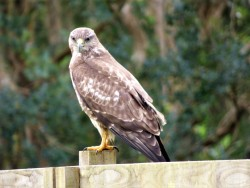 Buzzard in Playing Place