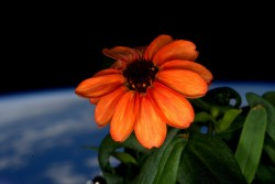 Earth behind a flower grown on the International Space Station