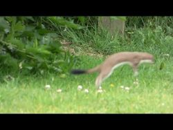 Had a family of stoats pay a visit today, never seen any in the wild before :)