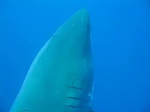 Biggest Great White ever recorded