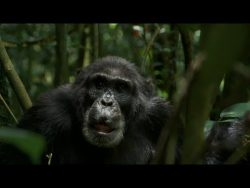 (2017) Rise of the Warrior Apes [01:27:08] Filmed over 23 years, tells the story of the largest  ...