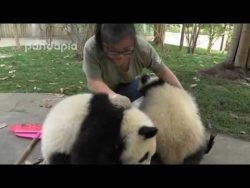 Zookeeper attempts to clean leaves from panda exhibit