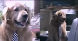 California town appoints Max the Golden Retriever dog as their mayor for a fifth term