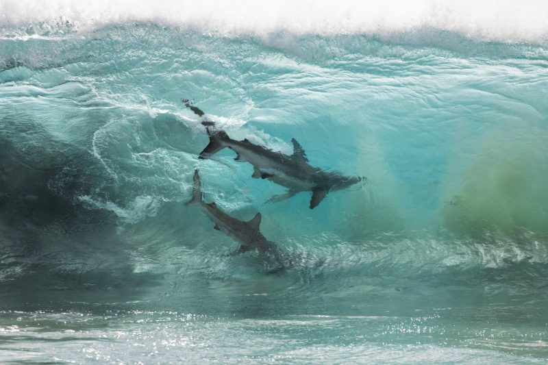 Caught by a drone photographer, sharks in a wave