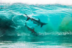 Sharks in a wave
