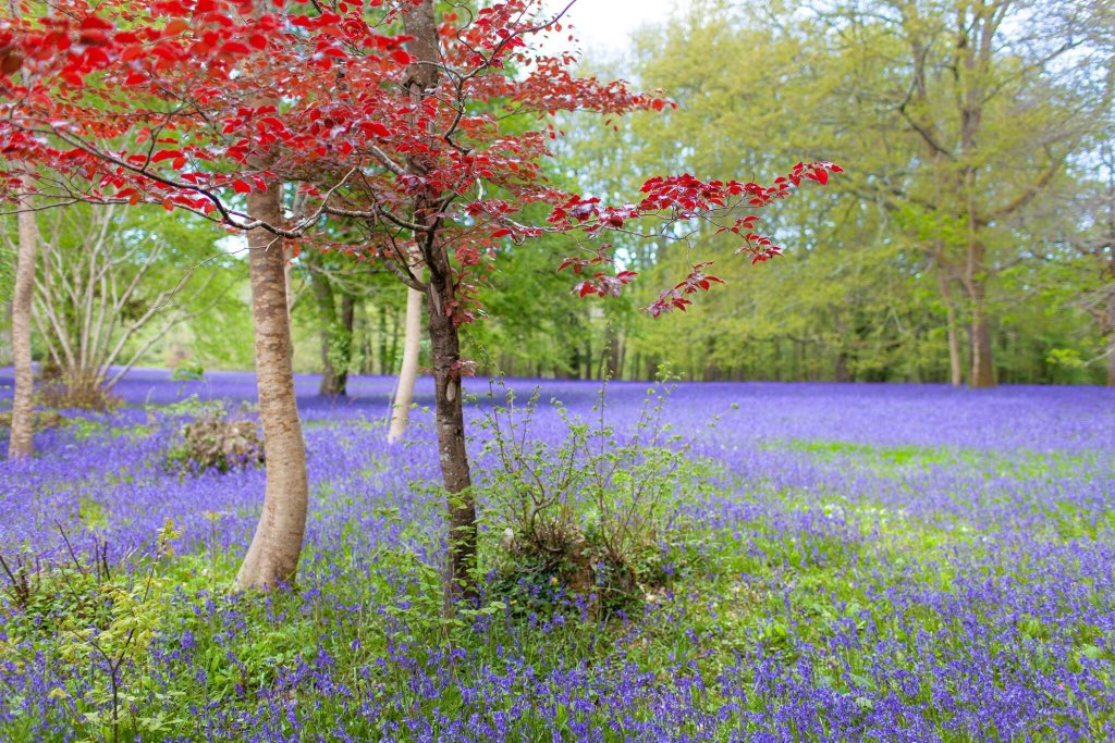Bluebells in Enys woods