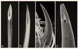 Side-by-side of the tips of a hypodermic needle, a viper's fang, the fang of a spider, and the s ...