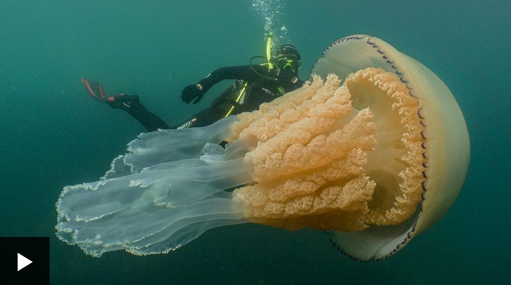 Giant jellyfish spotted off Cornwall coast