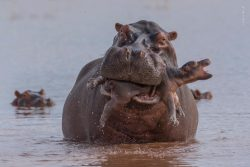 Bull Hippo kills a calf due to limited watering hole space