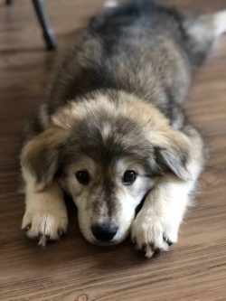 Half malamute, half golden retriever