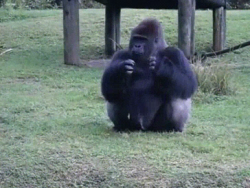 Lowland gorilla at Miami zoo uses sign language to tell someone that he's not allowed to b ...