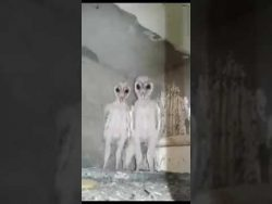 Barn owls mistaken for aliens in India's Visakhapatnam