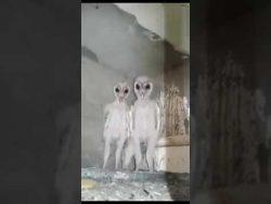 Barn owls mistaken for aliens in India's Visakhapatnam