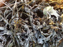Frosty seaweed