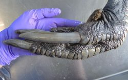 A Southern Cassowary claw. Just in case you didn't think that birds are dinosaurs