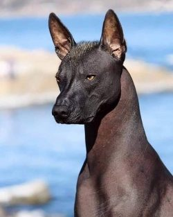 The Xoloitzcuintli (Mexican hairless dog). A dog considered to be the guide for the dead to reac ...