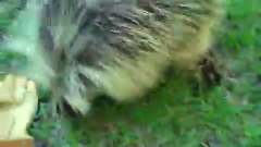 I'm in love with how porcupines sound