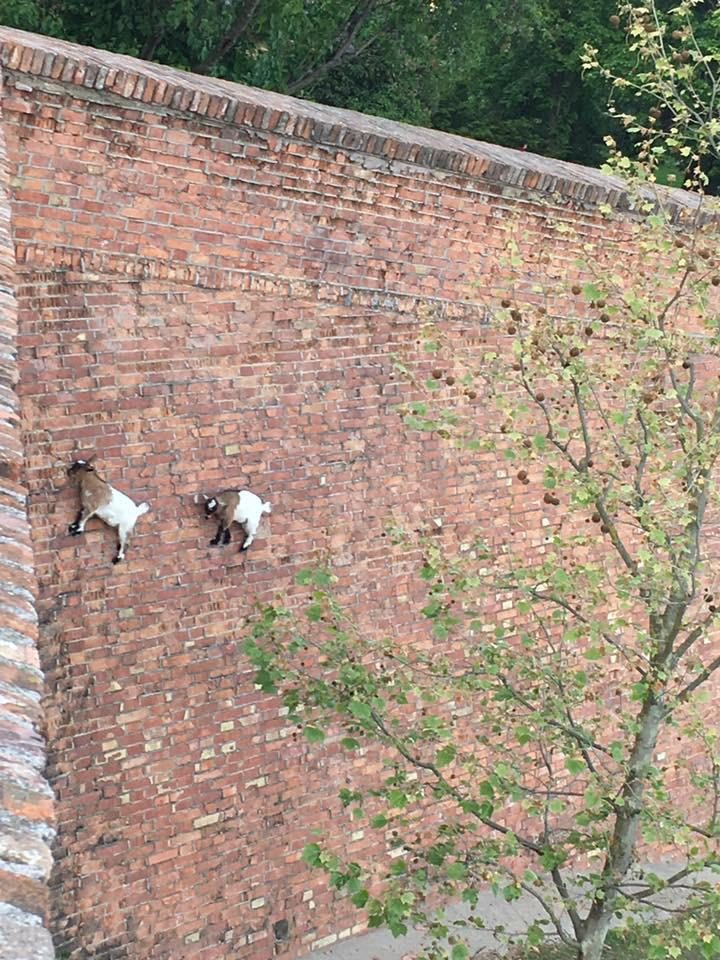 So apparently the laws of physics do not apply to goats