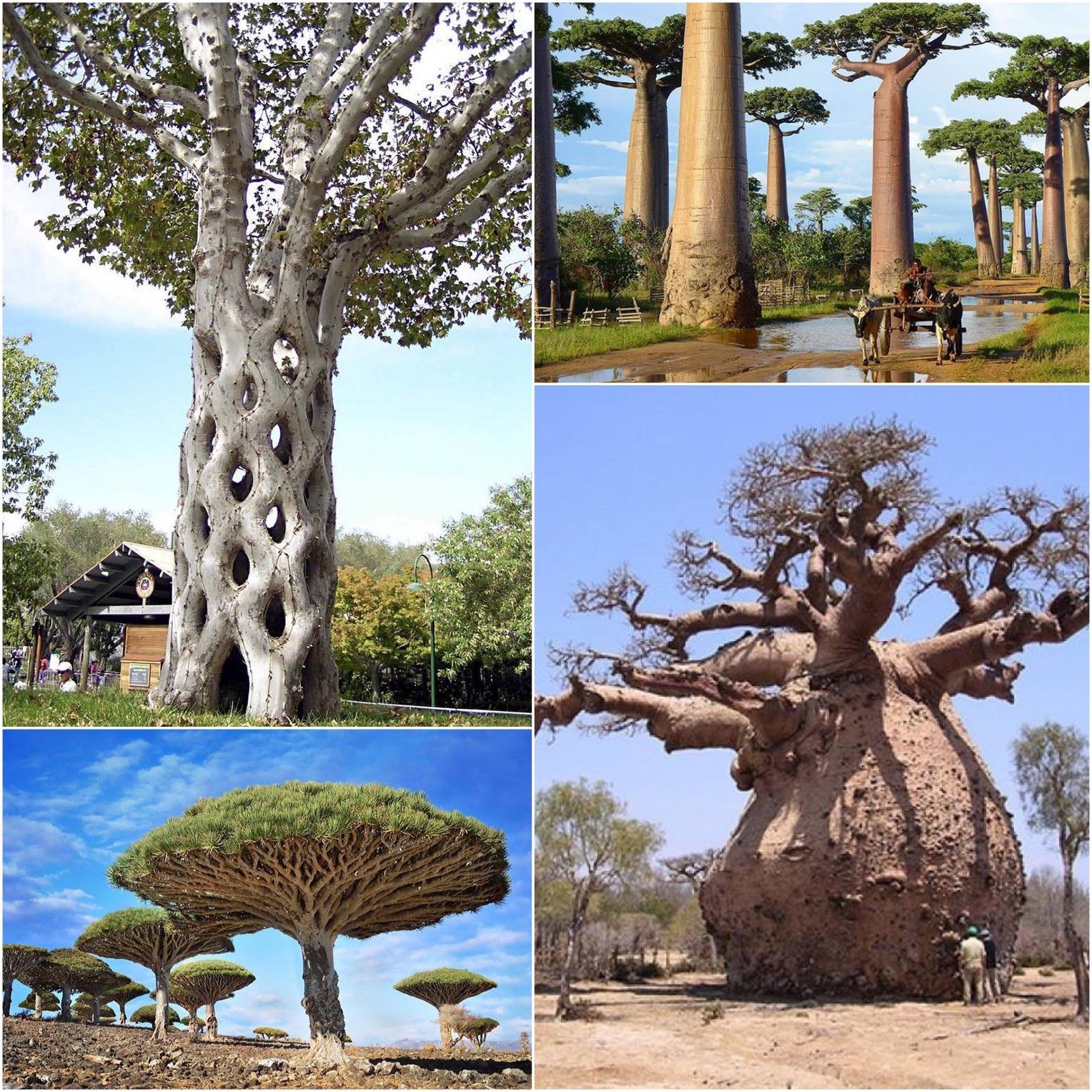Alien trees on earth
