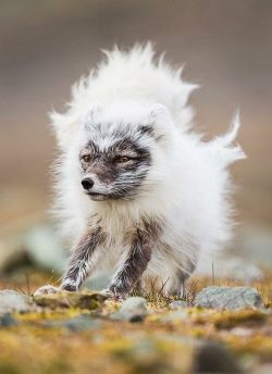 An Arctic fox halfway through shedding its winter coat for the warmer months where it will take  ...
