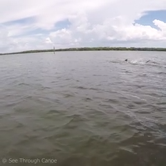 Dolphins kicking fish high into the air to stun them