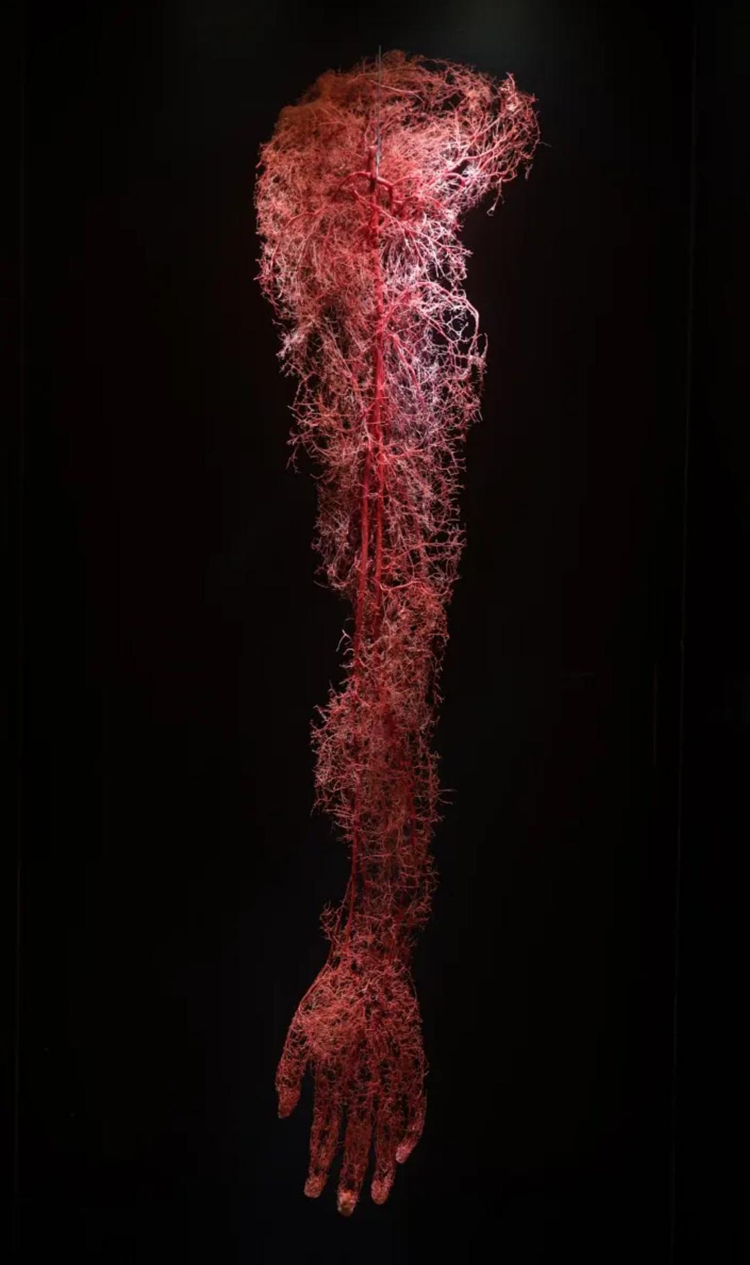 Circulatory system of a human arm