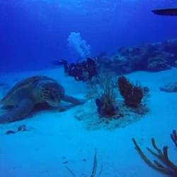 Sea turtle having a snack, human for scale