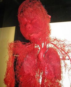 The human body stripped of fat, muscle and bone tissue, with just the vasculature preserved and  ...