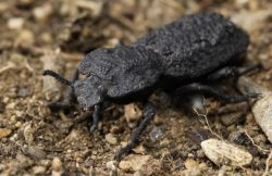 Uncrushable beetle reveals its strengths to scientists
