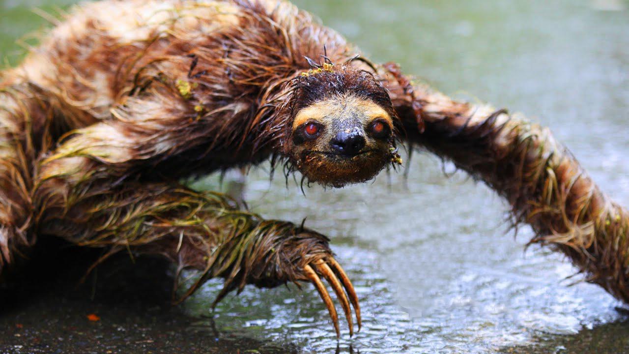 Wet sloths are super creepy