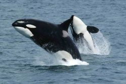 Killer whales aren't whales but dolphins. Their original nickname was 'whale killers' ('asesina  ...