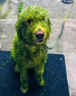 One white dog meets wet freshly cut grass