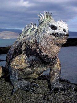 this marine iguana from hell
