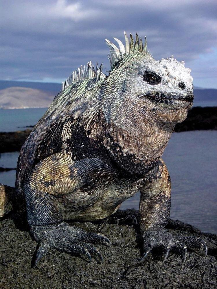this marine iguana from hell