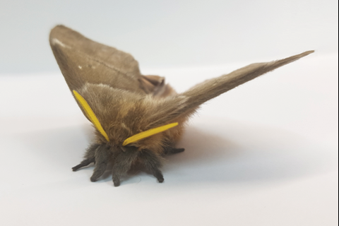 Moths draped in stealth acoustic cloak evade bat sonar