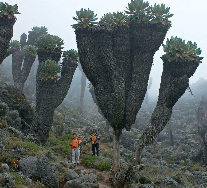 Giant Groundsels, prehistoric plants found on top of Mt Kilimanjaro