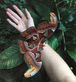 Atticus Atlas butterfly