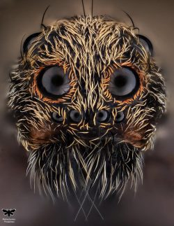 🔥 EXTREME close up of a Lycosidae (Wolf Spider)