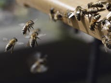 Government to let farmers use bee-killing pesticide banned by EU