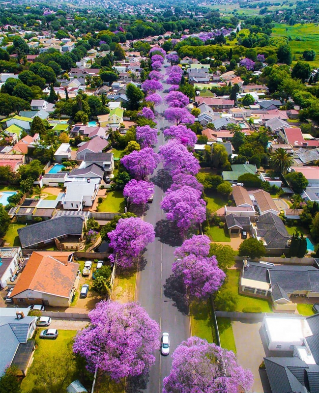 Jacaranda trees in Johannesburg, Gauteng, Africa.