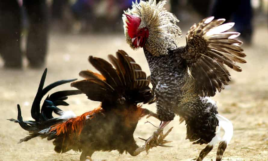 Rooster fitted with blade for cockfight kills its owner in India