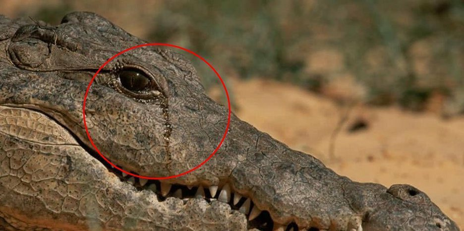 Crocodiles shed tears as a result of the air trapped in their sinuses after eating their prey. S ...