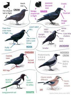 UK Crow family