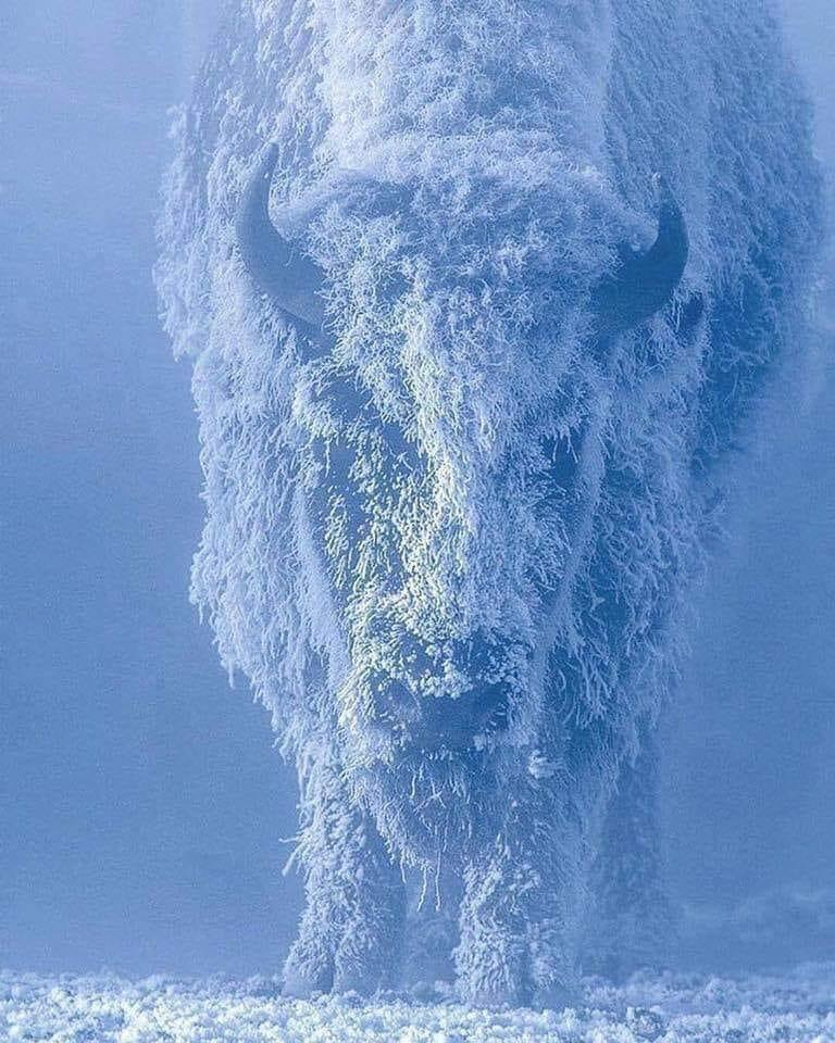 Bison at 35° below zero. Photographed at Yellowstone National Park