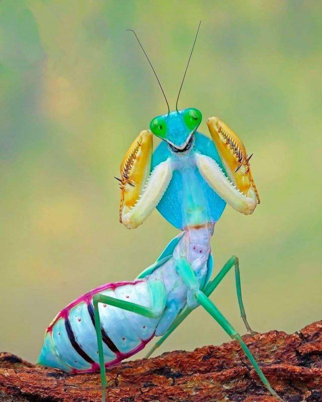 Giant Asian Shield Mantis, Malaysia.