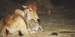 The Real Story Behind These Leopard And Cow Photos That Still Makes Little Sense