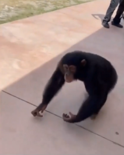 This chimp was born with broken ribs, had pneumonia and was abandoned by his own mother. This co ...