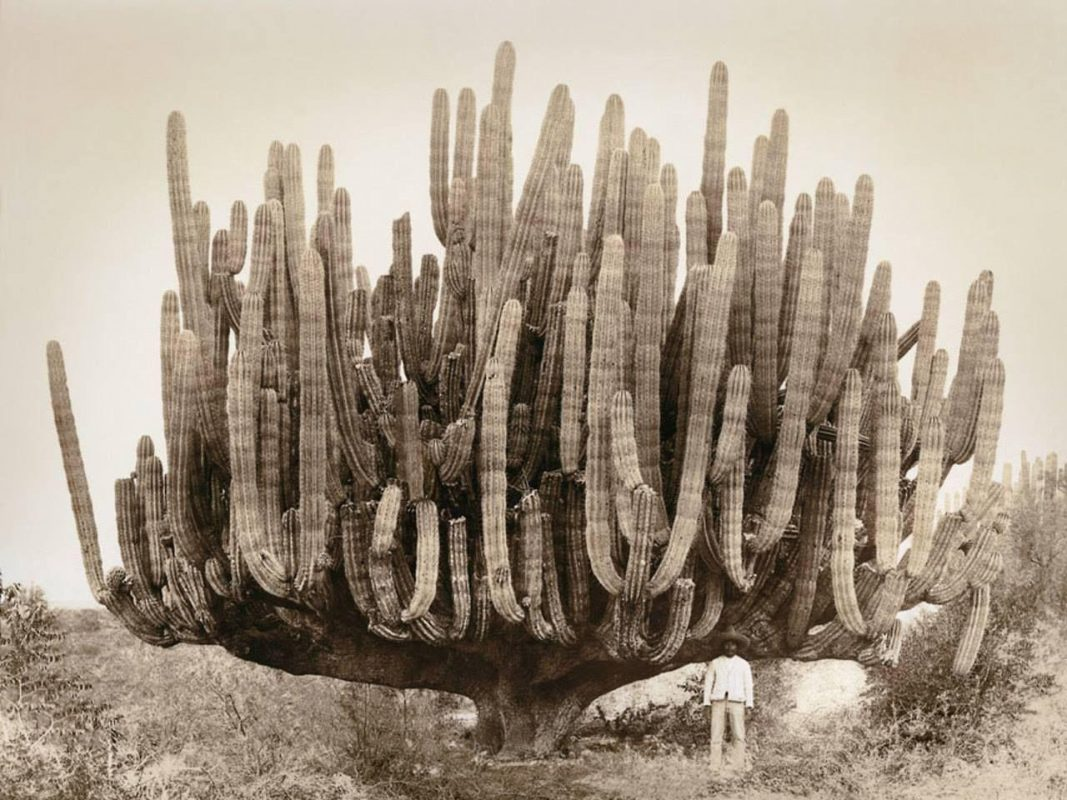 An photo of a massive massive cardón taken in 1895. Cardón, also called Mexican giant cacti, are ...